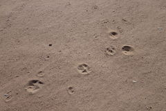 Dog prints in the sand Stock Photos