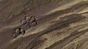 Dog Prints in Streaked Sand Royalty Free Stock Photography