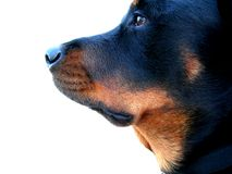 Dog Profile. Rottweiler puppy profile side view, isolated. Side of puppy face. Isolated Stock Photography
