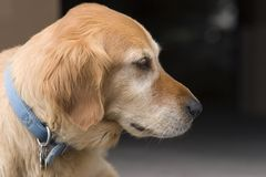Dog in profile. Profile of Golden Retriever Royalty Free Stock Photo