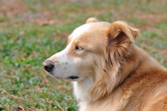 Dog Profile. Blond and white dog with blue eyes in profile laying in the grass Stock Photography