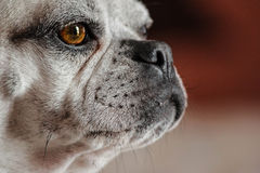Dog profile Royalty Free Stock Photography