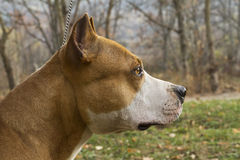 Dog Profile Portrait - Stafford. Stafford dog profile portrait looking somewhere royalty free stock photo