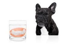 Dog  prosthetic teeth Stock Images