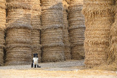 The dog protect a flax. The dog sits before a warehouse of flax Royalty Free Stock Photography