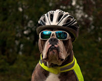 Dog is protected in traffic with sunglasses bike helmet and reflective vest. Old English Bulldog  is protected in traffic with sunglasses bike helmet and Stock Image
