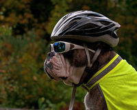 Dog is protected in traffic with sunglasses bike helmet and reflective vest Royalty Free Stock Photos