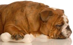 Dog protecting her bone. Adorable english bulldog sleeping with protective paw on dog bone Stock Photos