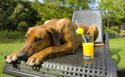 Dog protecting orange juice. A beautiful young rhodesian ridgeback male is protecting a glass of orange juice on a sunny day in summertime in garden royalty free stock image