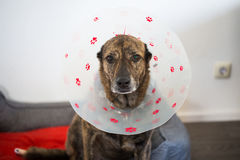 Dog with protective collar Stock Images