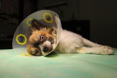 Dog with protective collar after surgery Stock Images