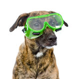 Dog with protective goggles. isolated on white background Royalty Free Stock Photo