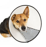 Dog with protective hood looking up Stock Photography