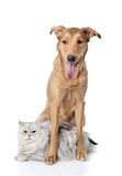 Dog protects a cat. looking at camera. Isolated on white backgro Stock Photography
