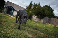 The dog protects the countryside yard. Cane corso dog walking in the yard and guard it Stock Photo