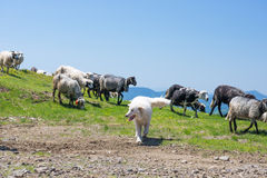 The dog protects sheep that graze on the slopes of Ukrainian Car. Sheep graze on the slopes of the Ukrainian Carpathians. In the background are visible mountains Royalty Free Stock Photography