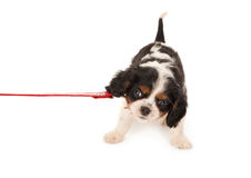 Dog in protest. Little King Charles puppy dog protesting on a leash Royalty Free Stock Images