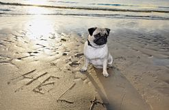 Dog pug Royalty Free Stock Image