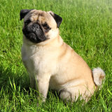 Dog Pug Stock Photo
