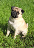 Dog Pug Stock Photos