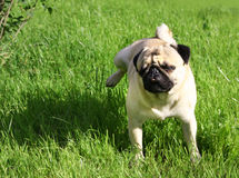 Dog Pug Stock Photos