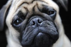 cute and sad Pug named Fabian royalty free stock photography