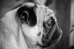 Dog, pug, black and white, a stylish portrait of a pug in profil Stock Photo