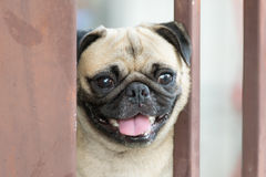Dog pug breed Royalty Free Stock Photography