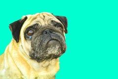 Dog pug crying stock photos