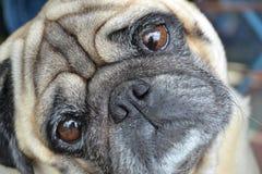 Dog, Pug, Dog Like Mammal, Dog Breed Stock Photos