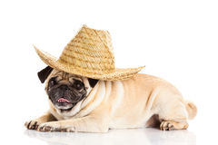 Dog pug dog mexican hat isolated on white background Stock Images