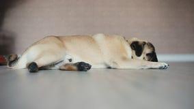 Dog pug falls asleep, indoor