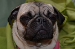 Dog Pug mops  Sahara girl Royalty Free Stock Photos