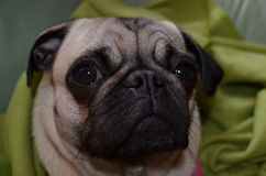 Dog Pug mops  Sahara girl Royalty Free Stock Photography