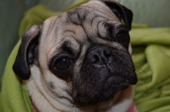 Dog Pug mops  Sahara girl Royalty Free Stock Photo