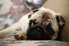 Dog Pug, puppy. Dog Pug at home, sleeping Stock Photos