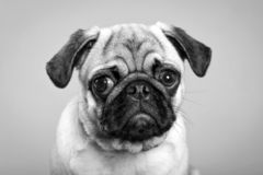 Dog pug. sad puppy royalty free stock photo