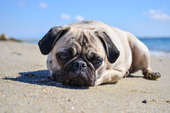 Dog Pug Sahara girl Royalty Free Stock Photos
