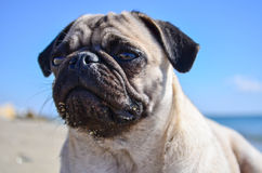 Dog Pug Sahara girl Royalty Free Stock Photography