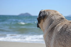 Dog Pug Sahara girl Stock Photography