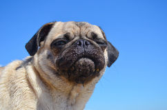 Dog Pug Sahara girl Stock Images