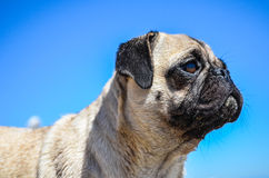 Dog Pug Sahara girl Royalty Free Stock Photo
