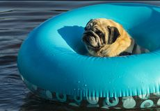 Dog pug swims on inflatable ring stock photo