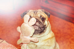 Dog pug with toy. Nice dog pug with toy in teeth Stock Images