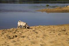 Dog pug walks on the sandy beach near the river. Stock Photos