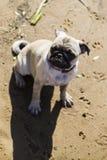Dog pug walks on the sandy beach near the river. Stock Images