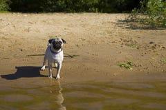 Dog pug walks on the sandy beach near the river. Royalty Free Stock Photos