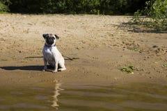 Dog pug walks on the sandy beach near the river. Stock Photography