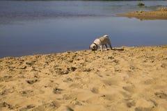 Dog pug walks on the sandy beach near the river. Royalty Free Stock Photography