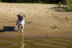 Dog pug walks on the sandy beach near the river. Royalty Free Stock Photo